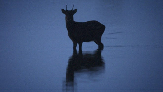 A sika deer makes its way across the water on the bayside of Assateague Island.