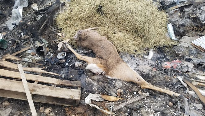 This white-tailed deer was found headless and gutless at the Saco dump.