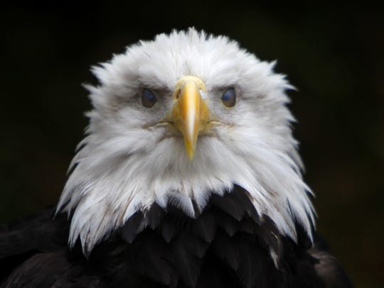 Bald eagles find fish and waterfowl easy to catch at