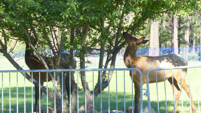 Two elk sample leaves from a tree at the zipline operation in midtown Ruidoso. To the delight of tourists and locals, the ungulates are becoming frequent visitors to the village, but they can pose a traffic hazard.