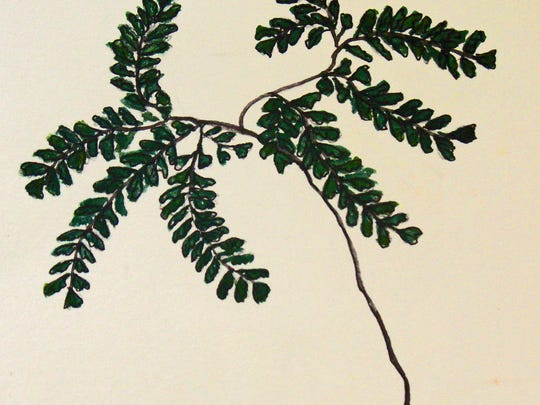 maidenhair-fern.jpg