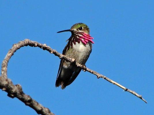 Calliope-Hummingbird.jpg