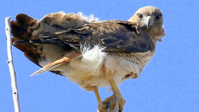 One of the Fort Stanton red-tailed hawks, the female of the mating pair, doesn't take her eyes off of the photographer as she grips the top of a tree with her strong talons.