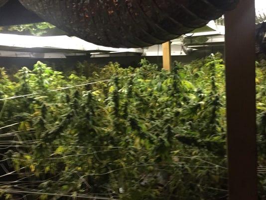 Marijuana-4