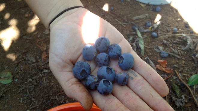 Fresh picked blueberries ready to be eaten.