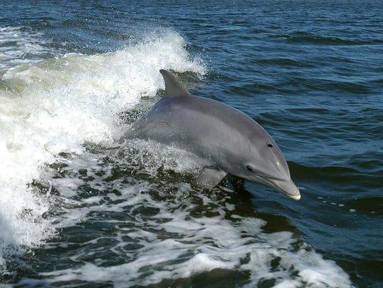 bottlenose dolphin.jpg