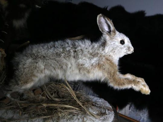 A preserved snowshoe hare. Sightings of the color-changing