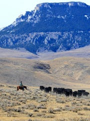 Tim Seaman moves cattle on the Meissner Ranch at the foot of Square Butte between Stanford and Geraldine.