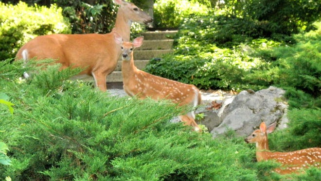 Doreen Tiganelli of Poughkeepsie recently submitted this photo of fawns with a doe taken in her neighborhood. Have a nature photo to share? Send it to dradwin@poughkeepsiejournal.com