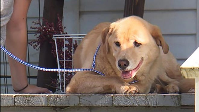 This video frame grab provided by KMBC-TV in Kansas City, Mo., shows Cleo, a 4-year-old Labrador retriever-border collie mix who disappeared from her home in Kansas earlier this month and turned up a few days later at her old home in Missouri, about 50 miles away.