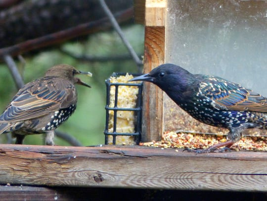 Two starlings disagree over access to some suet. The