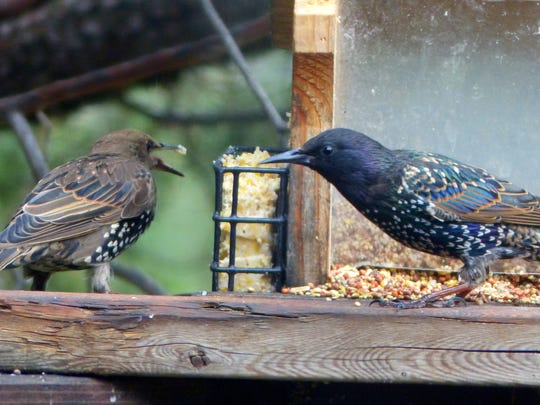 Two starlings disagree over access to some suet. The aggressive birds may drive more docile birds away from feeders.