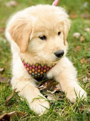 Farley, a 5-month-old golden retriever, is starting