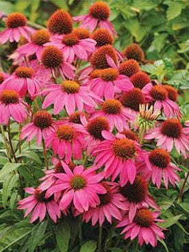 The 'PowWow' series of Echinacea features a number of different colored varieties.