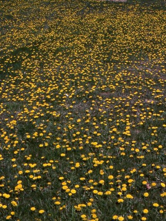 poffenbaugh dandelions.jpg