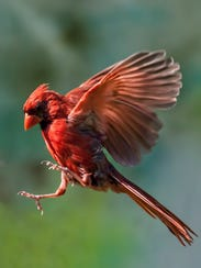 A young male cardinal flies through the air.