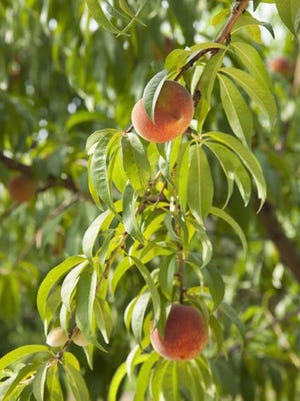 Peaches ripen on the tree.