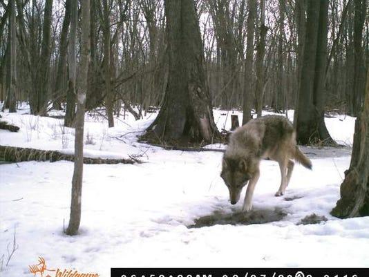 wolftest.jpg