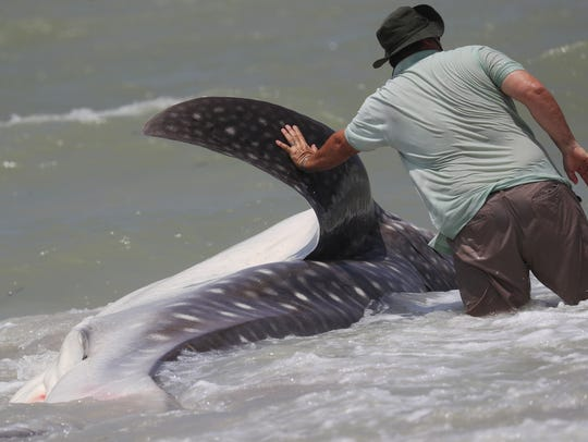 A dead whale shark washed up on a Sanibel beach Sunday