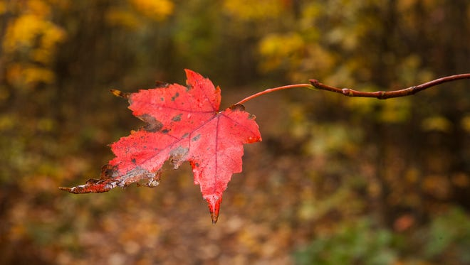 A stubborn leaf clings to life along Riprap trail in the Shenandoah National Park on Sunday, Oct. 12, 2014.