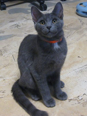 Mateo: As you can see, I'm a sleek and handsome Russian blue, just 6 months old. I'm super-friendly. If you come to the shelter and sit down, I'm come right over to nuzzle you and be petted. My sister was adopted; I'm hoping to be next.