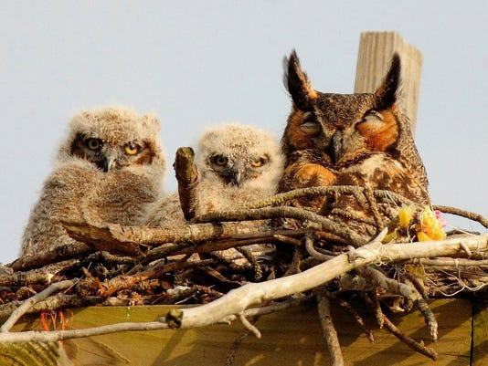 Great Horned Owl Russo.jpg