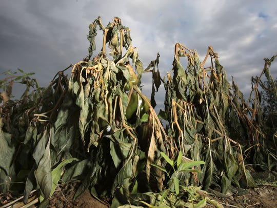 Bell pepper plants are damaged by recent frost and cold on a field on the corner of 64th Avenue and Van Buren St. in Thermal, CA on Tuesday, December 30, 2014.