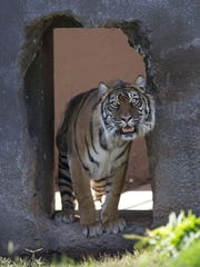 Suriya, a 12-year-old Sumatran tiger from the Oklahoma