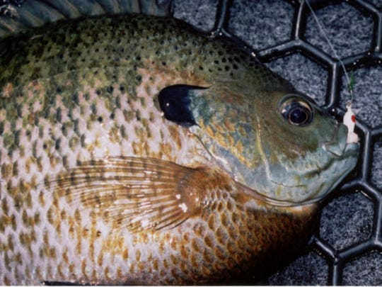 Another bluegill caught on a Panfish Cobra jig while drifting with redworms.