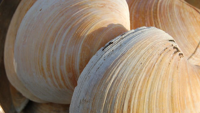 Clam up! Rings in the quahog clam gave scientists an unprecedented look at the history of Earth's oceans.