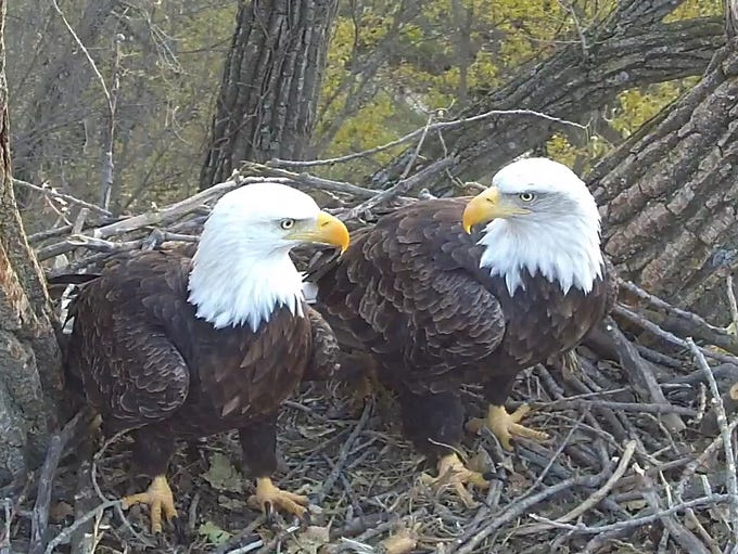 A male and female eagle perch in their nest outside