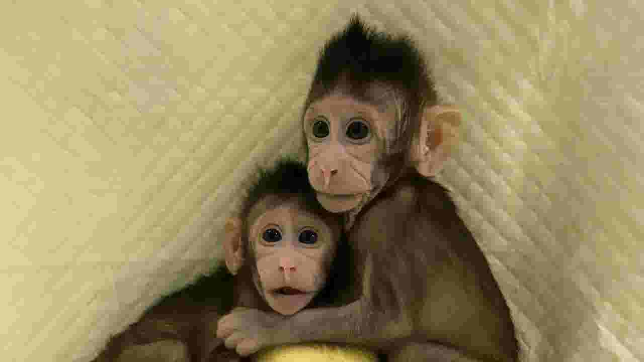 Cloned monkeys scientists in china have cloned two macaques cloned monkeys a first spur inevitable questions of when human clones will follow voltagebd Images