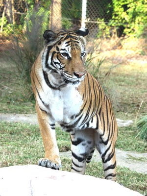 Petra, an 18 ½ year old Malayan tiger, at Dickerson Park Zoo was humanely euthanized on Feb. 19, 2019 due to health issues related to age.