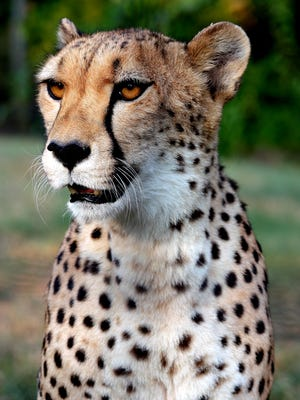 Wear something spotted on Sunday and receive $2 off Dickerson Park Zoo admission in honor of International Cheetah Day.