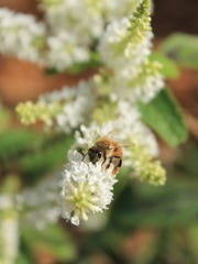 Where it all begins. A bee forages on a sweet almond bush.