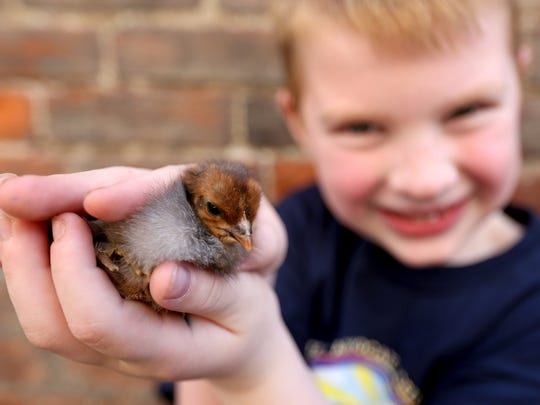 Mason Krahmer, 6, with the Oregon AgFest, holds a chick