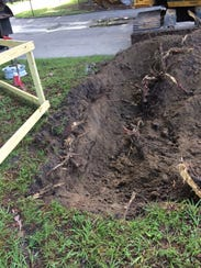 Cutting exposed roots will take away a tree's ability
