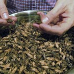 Fish and chirps? Demand for edible crickets leaps