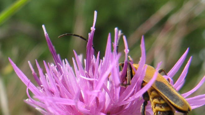 Spotted knapweed is a pretty pink flower that can cause pretty big problems as an invasive weed.
