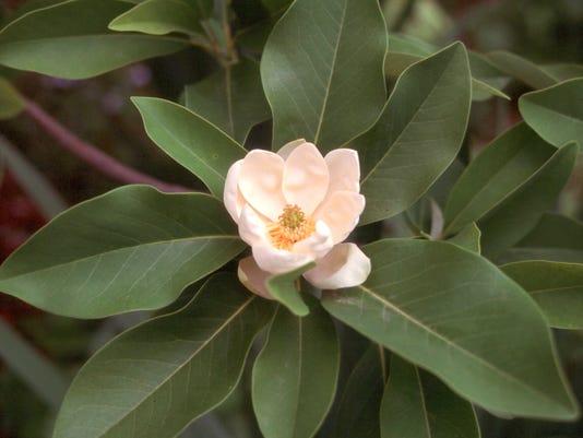 636465349853407121-Sweetbay-Magnolia-flowerjpg.jpg