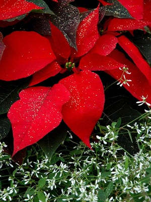 Frost your poinsettia for a Christmas tradition.