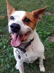 Heidi is a young, spayed female cattle dog/husky mix.