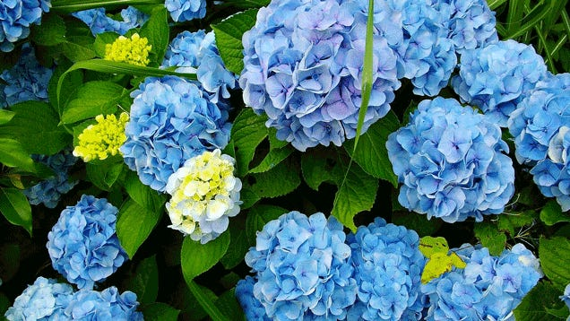 The first step is identifying what type of hydrangeas you have.