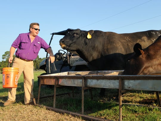 Caddo Parish rancher Marty Wooldridge tends to a 500-head