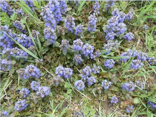 636619807408358106-bugle-weed.jpg