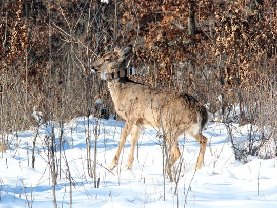 A juvenile white-tailed deer walks away after it was collared and tested as part of the Southwest Wisconsin CWD, Deer and Predator Study. Photo taken Feb. 2, 2017 by Paul A. Smith.