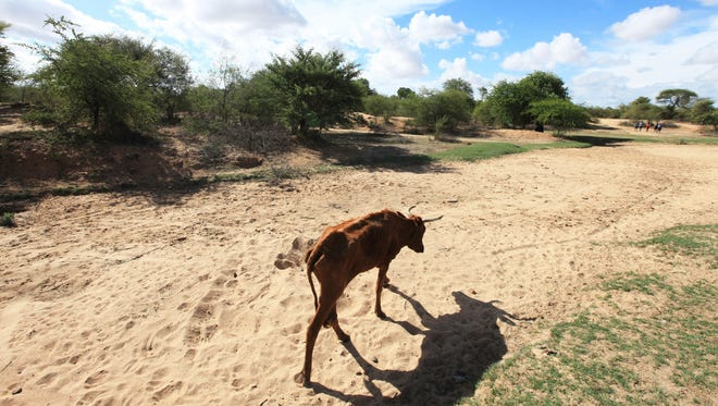 A malnourished  cow walks along a dried-up riverbed in the village of Chivi, Zimbabwe, on Jan. 29.