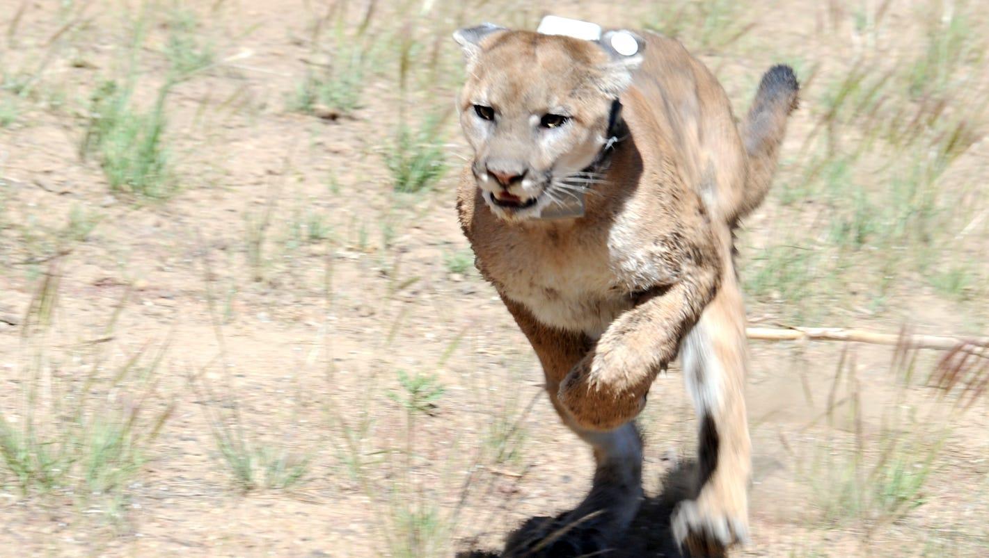 B Mobile Mountain Lion NDOW says mountain lio...