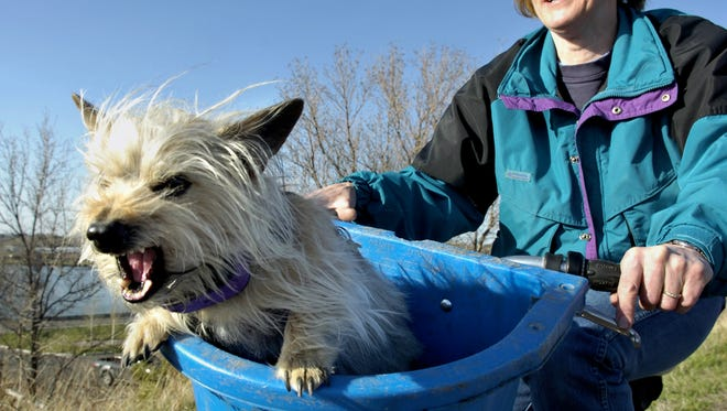 """Janice Ruth takes her cairn terrier """"Rufus"""" for a bike ride on the River's Edge Trail along the Missouri River in Great Falls."""