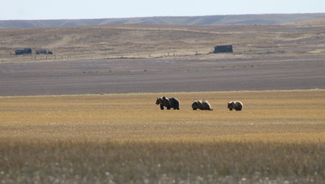 A grizzly sow and three cubs were spotted in a stubble field last year west of Dutton, 35 miles north of Great Falls. A bear management specialist based in Conrad has been hired to manage grizzlies on the prairie.